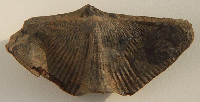 Cyrtospirifer verneuili. Photograph: Dwergenpaartje via Wikimedia Commons