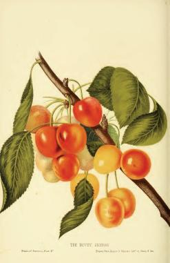 Cherries by Charles Mason Hovey, via Wikimedia