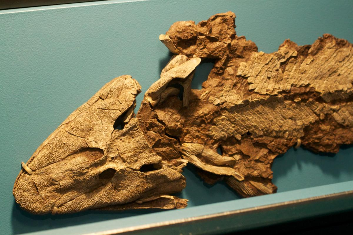 Misconception monday thursday fossils everywhere ncse for Neil shubin your inner fish