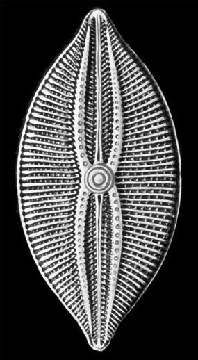 Ernst Haeckel's drawing of a diatom, from Kunstformen der Natur'' (1904)