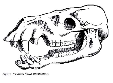 Figure 1: Camel Skull Illustration