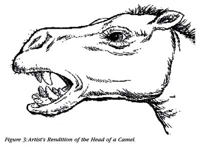 Figure 3: Artist's Rendition of the Head of a Camel