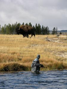 Fly fishers and hunters are already seeing changes in wildlife: A fly fisherman in Yellowstone National Park watches a bison walk past him. The fish, the insects the fly fisher imitates, and big game like bison area all affected by climate change.