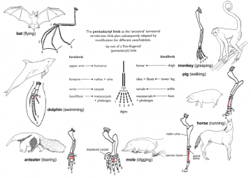 Diagram showing how the pentadactyl (five-fingered) limb is adapted for a variety of habitats by different animals, including bats for flying, dolphins for swimming, moles for digging, anteaters for tearing, horses for running, pigs for walking, and monkeys for grasping