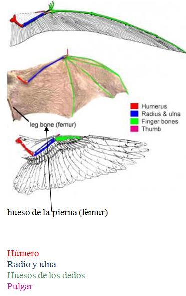 Alas de pterosaurio, murciélago y ave