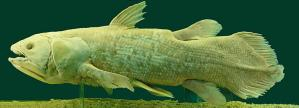 "Coelacanth: a ""living fossil."" Image from WikiCommons."