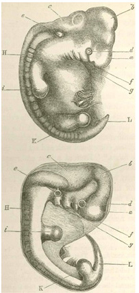 Darwin's Use of Embryonic Drawings