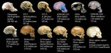 Fossil hominid skulls:  Labeled with specimen name, species, age, and cranial capacity in milliliters (cranial capacity is the volume of the space inside the skull, and correlates closely with brain size). Images © 2000  Smithsonian Institution, modified from: TalkOrigins Common Ancestry FAQ