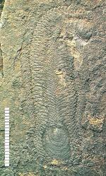 Halkieria evangelista: from the Lower Cambrian. Image from WikiCommons