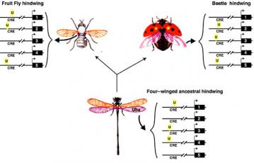 Evolution of hindwings: Mutations in regulatory genes change the shapes of insect hindwings