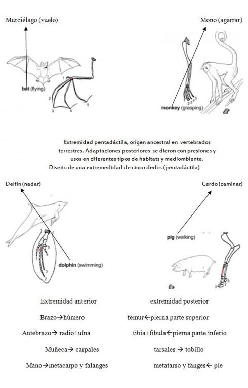 Homología de extremidades en vertebrados: Murciélago, Mono, Delfín, Cerdo: Homología de extremidades en vertebrados: Murciélago, Mono, Delfín, Cerdo