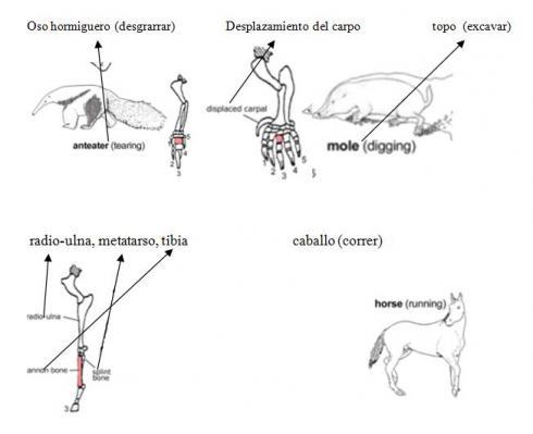 Homología de extremidades en vertebrados: Oso hormiguero, Topo, Caballo: (imagen creada por Jerry Carmesí Mann, y publicado bajo la licencia GFDL)