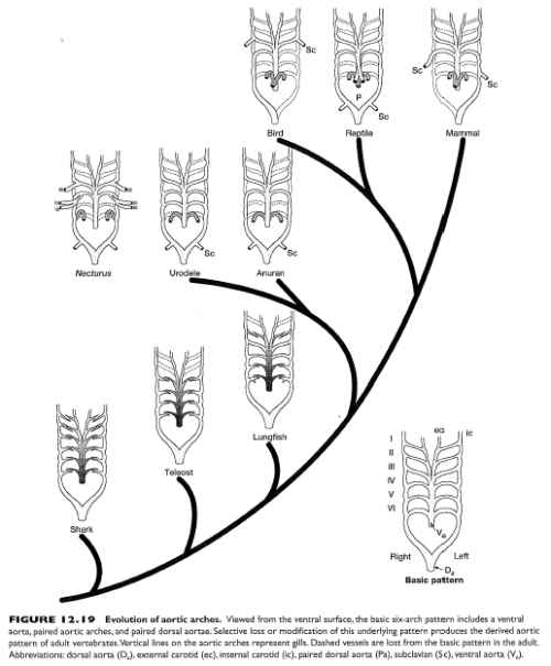Evolution Aortic Arches: In this depiction, the viewer is facing the chest (ventral side) of the organism.  The birds and mammals are actually very similar to reptiles in their fundamental pattern, except that they have lost the left or right systemic arch, respectively. From: Figure 12-19, p. 461 of: Kardong, Kenneth V. (2006). Vertebrates: comparative anatomy, function, evolution. Boston, McGraw-Hill Higher Education.
