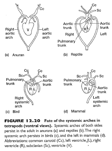 "Aortic Arches: This diagram ""zooms in"" to show just the fate of the aortic arches in amphibians, reptiles, birds, and mammals.  The diagram clearly indicates (unlike the diagram in Explore Evolution) that the only fundamental topology change between reptiles and mammals is that mammals have lost the right systemic arch.  From Figure 12-20, p. 462 of: Kardong, Kenneth V. (2006). Vertebrates: comparative anatomy, function, evolution. Boston, McGraw-Hill Higher Education."