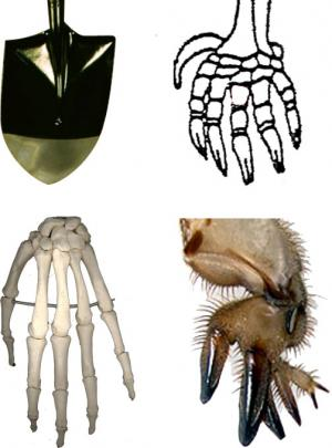 Spade or hand?: A shovel, a mole paw, a human hand, and a mole cricket forelimb.  Which structures are homologous?  Which share functional constraints?
