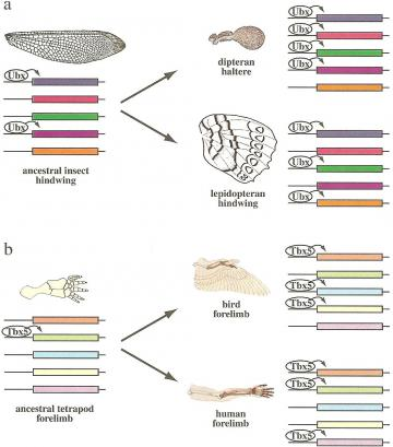 Gene regulation in insect wings and vertebrate limbs: Changes in the set of genes targeted by a conserved selector gene explain the divergence of homologous structures: insect hindwings (a) and vertebrate forelimbs (b). The conserved expression of selector genes Ubx (insect hindwings) and Tbx5 (vertebrate forelimbs) indicates that ancestral forelimbs of vertebrates also expressed these genes and the ancestral hindwings of insects. While the selectors regulated certain target genes (colored boxes) in the ancestral appendage, a different set of genes came to be activated in different lineages, resulting in the evolution of morphologically and functionally divergent homologous structures in modern taxa.    Sean B. Carroll, Jennifer K. Grenier, and Scott D. Weatherbee (2001) From DNA to Diversity: Molecular Genetics and the Evolution of Animal Design, Blackwell Publishing:Cambridge, MA, pg. 5.16, 144