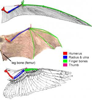 Pterosaur, bat, and bird wings: Pterosaurs, bats and birds produced wings with functionally similar shapes from a homologous organ (the forelimb) in three distinct ways.  The bones in each wing are homologous, but because the different arrangement of bones within the wing, the wing itself is independently derived within each group.  Image by J. Rosenau.
