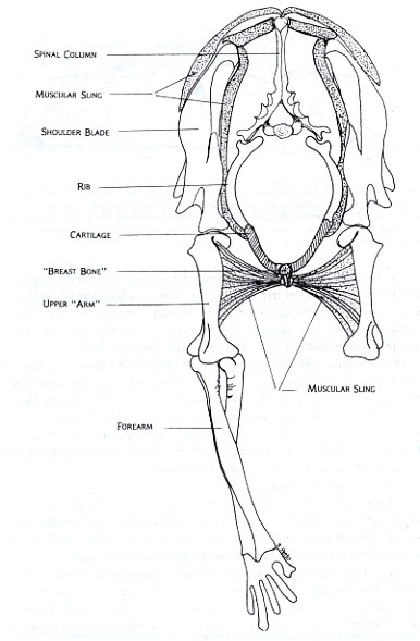 Figure 2: Front view of Felis domestica, the house cat, shows the general relationship between the shoulder girdle and forelimb for running mammals. The ribs extend most of the way to the belly and are connected by cartilage to the breast bone. The shoulder blades are connected to this bone on each side by a combination of relatively reduced collar bones and a sling of muscles and connective tissue. This arrangement makes the whole complex light and maneuverable. This is important for an animal which hunts active prey and performs a lot of different locomotive activities such as running, jumping, and climbing.