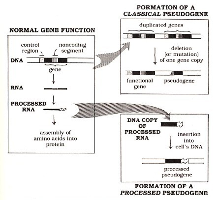Figure 1: How genes function normally and how they give rise to pseudogenes