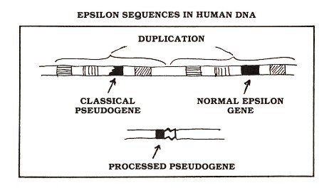 Figure 2: The human gene encoding the kind of antibody protein known as epsilon (black rectangle) gave rise to two pseudogenes—one classical and one processed. Both of these useless sequences are present in essentially every cell of your body