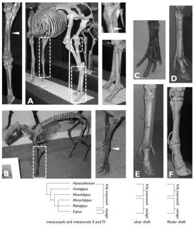 Equid Skeletons