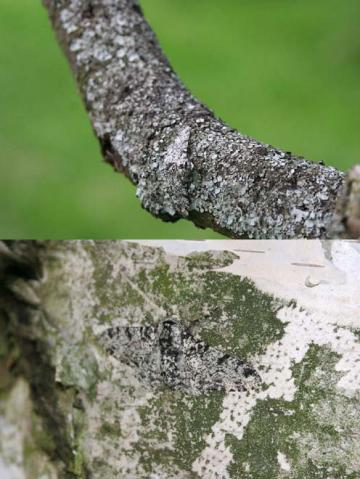 "Peppered moths in situ: Peppered moths in their natural resting places on horizontal tree branches (above) and vertical tree trunks (below).  From figures 4 and 5 in Michael E. N. Majerus (2009), ""Industrial melanism in the peppered moth, Biston betularia: an excellent teaching example of Darwinian evolution in action,"" Evolution: Education and Outreach 2(1):63-74."
