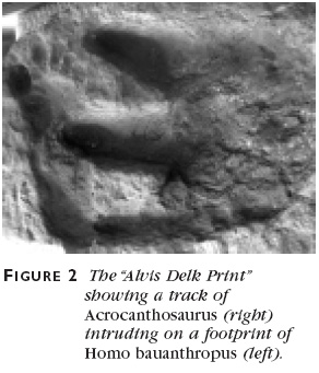 Figure 2: The Alvis Delk Print showing a track of Acrocanthosaurus (right) intruding on a footprint of Homo bauanthropus (left).
