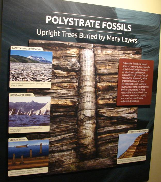 Figure 35. Polystrate fossil trees.