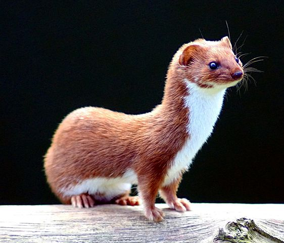 Keven Law, Least Weasel (Mustela nivalis) at the British Wildlife Centre, Surrey, England, via Wikimedia Commons. Licensed under the Creative Commons Attribution-Share Alike 2.0 Generic license https://creativecommons.org/licenses/by-sa/2.0/deed.en.