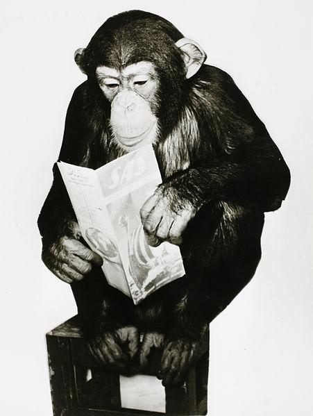 Chimpanzee reading a SAS brochure, Uno K. Gillström 1958, via Wikimedia Commons.