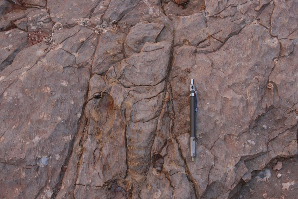 orthocone nautiloid, Grand Canyon