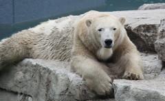 A polar bear!