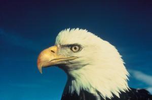 US Fish and Wildlife Service/Mike Lockhart via Wikimedia Commons