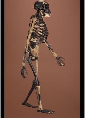 Lucy (Chip Clark ©Smithsonian s Human Origins Program) 468fa21b718