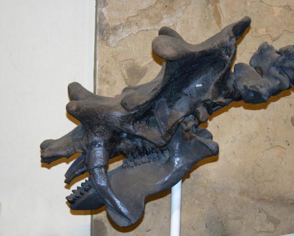 Uintatherium robustum