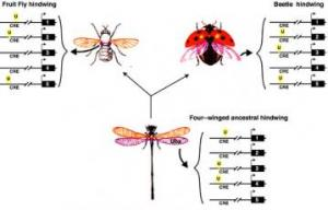 Hindwing Evolution