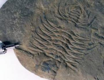 Trilobite: Olenoides serratus from the Burgess Shale. Note the dark lines extending from the shell; these are rarely-preserved soft tissues, an indication of the unique preservation conditions of the Burgess Shale. Photo by Steven Newton.
