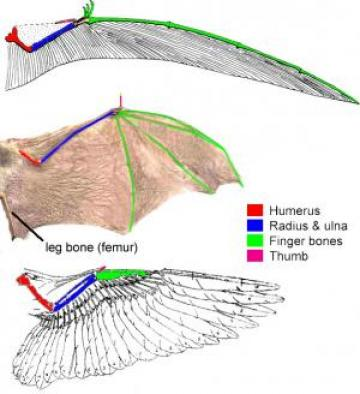 Wing morphology: Pterosaurs, bats and birds produced wings with functionally similar shapes from a homologous organ (the forelimb) in three distinct ways.  The bones in each wing are homologous, but because the different arrangement of bones within the wing, the wing itself is independently derived within each group.  Image by J. Rosenau.