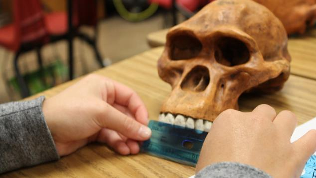 Student taking measurements of a hominin skull
